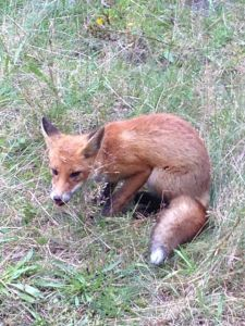 a very sly fox