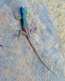 Broadley lizard