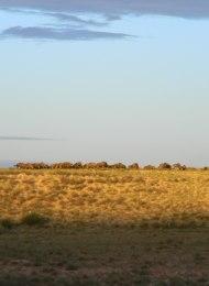 Wildebeeste sunset